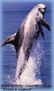 A Risso's dolphin breaching